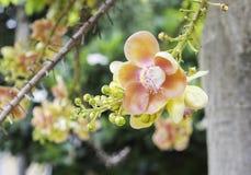 古炮炮弹树,婆罗双树树,印度, Co的婆罗双树美丽的花  免版税图库摄影