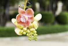 古炮炮弹树,婆罗双树树,印度, Co的婆罗双树美丽的花  库存图片