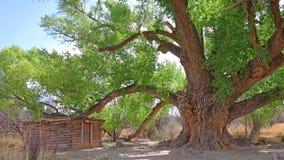 古老三角叶杨结构树 图库摄影