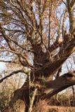 古老不可思议的橡树 库存图片