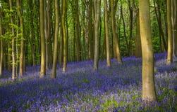 古老会开蓝色钟形花的草森林在牛津郡 免版税库存图片