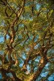 古老印度榕树机盖 免版税库存图片