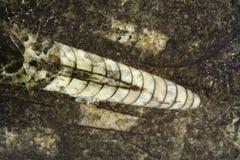 古老头足纲动物化石 库存图片