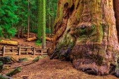古老将军谢尔曼Tree在美洲杉国家公园 库存图片