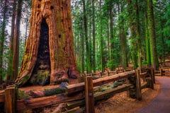 古老将军谢尔曼Tree在美洲杉国家公园 库存照片