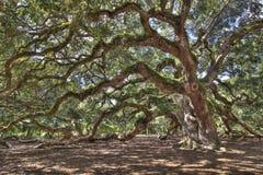 古老小橡树结构树 库存照片