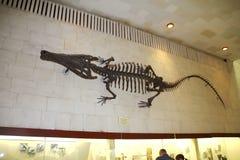 古老巨型鳄鱼的骨骼 库存照片
