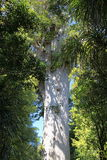 古老巨型贝壳杉树田根Mahuta 2000岁 免版税库存图片