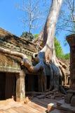 古老废墟和树根,一个历史的高棉寺庙 免版税库存图片
