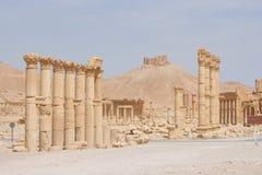 古老扇叶树头榈叙利亚 免版税库存照片
