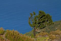古老月桂树高在海岸线上 库存照片