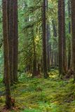 古老树丛自然痕迹在奥林匹克国家公园,华盛顿,美国 免版税库存照片