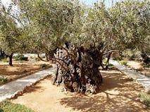 古老橄榄树在Gethsemane庭院里  圣洁以色列耶路撒冷犹太人多数一个人安置安排神圣对哭墙 免版税库存照片