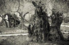 古老橄榄树在Getsemane庭院里  免版税库存照片
