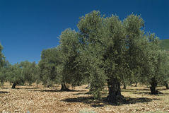 古老橄榄树 库存图片