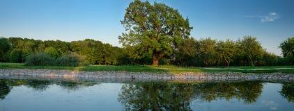 古老橡木树 库存照片