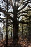 古老橡木 免版税库存照片
