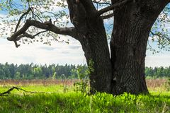 古老橡树的巨大的树干与深凹陷的 一些反弹严格晴朗那里不是的蓝色云彩日由于域重点充分的绿色横向小的移动工厂显示天空是麦子白色风 免版税库存照片
