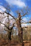 古老橡树,舍伍德森林在早期的春天 库存图片