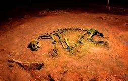 古老熊骨骼 免版税图库摄影