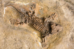 古老爬行动物最基本的化石纪录在石头的 免版税库存照片