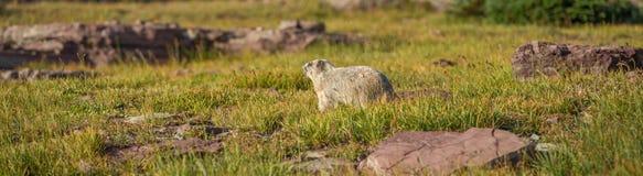 古老的土拨鼠冰川国家公园 库存照片