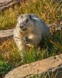 古老的土拨鼠冰川国家公园 免版税图库摄影