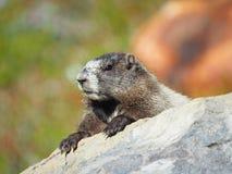 古老的土拨鼠的特写镜头在岩石的 库存图片