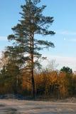 古老的杉木 库存照片