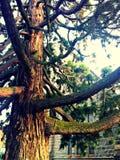 古老的松树树 免版税图库摄影