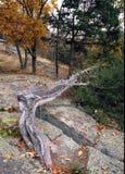 古老的松树树 免版税库存图片