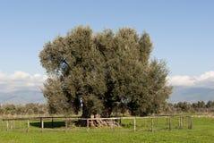 古老的橄榄色撒丁岛结构树 免版税库存图片