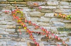 古老石墙用表面上的编织的葡萄 免版税库存照片