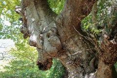 古老结构树 免版税库存图片
