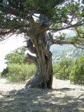 古老结构树 库存照片