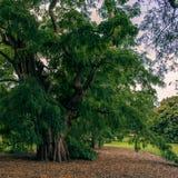 古老结构树 库存图片