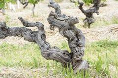 古老葡萄树 图库摄影