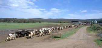古老被创建的奶牛场国民游人传统特殊地运作 库存照片