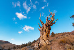 古老结构树 免版税库存照片