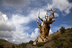 古老Bristlecone杉木和多云天空 库存图片