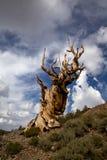 古老Bristlecone杉木和风雨如磐的天空 库存图片