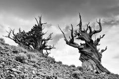 古老Bristlecone杉木在风雨如磐的天空下 免版税库存照片