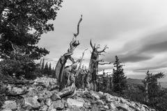 古老Bristlecone杉木在黑白的大盆地国家公园 库存图片