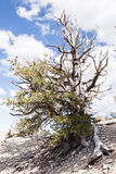 古老Bristlecone杉木森林 免版税库存照片