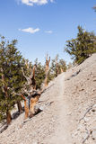 古老Bristlecone杉木森林 库存照片
