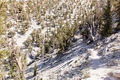 古老Bristlecone杉木森林 免版税库存图片