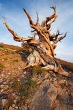 古老Bristlecone杉木森林 免版税图库摄影