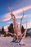 古老Bristlecone杉木,加利福尼亚 库存照片