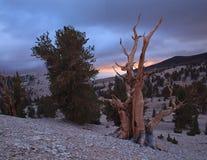 古老Bristlecone杉木,加利福尼亚 图库摄影