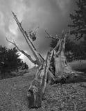古老Bristlecone杉木,加利福尼亚 免版税库存照片